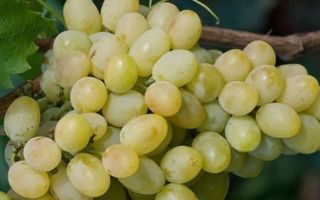 Сорт винограда «Благовест», описание и фото