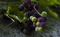 Можно ли делать вино из недозревшего винограда