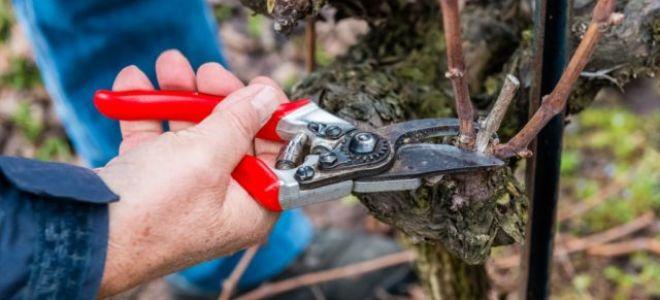 Как правильно обрезать виноград на зиму: Подробная инструкция