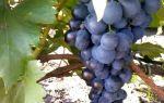 Виноград «Византия», описание сорта с фото и видео