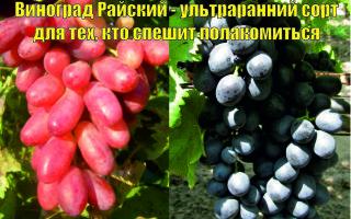 Два сорта винограда и одно название — «Райский», описание и фото