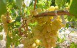 Вино из винограда «Кишмиш» в домашних условиях