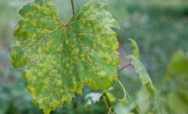 болезнь листов винограда