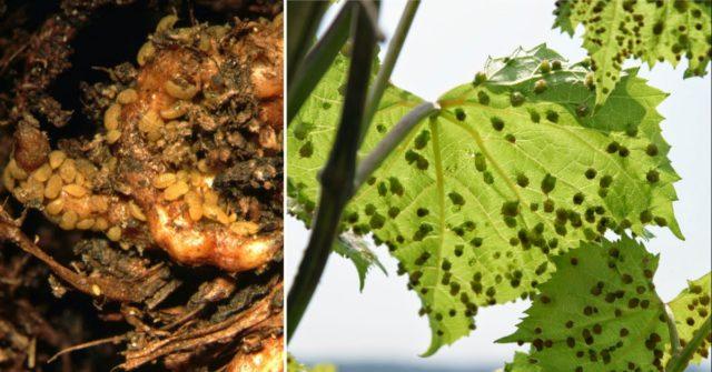 корни и листы болезнь