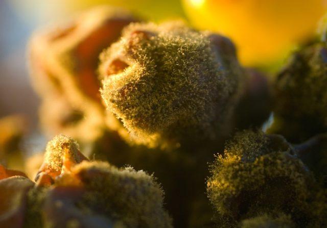 плесень виноград