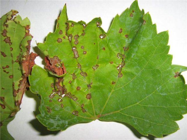 лист винограда больной
