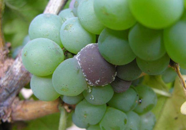 виноград гниль