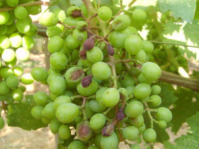 белая гниль на винограде
