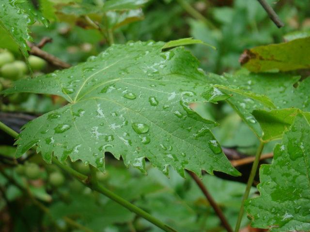 виноградный лист капли