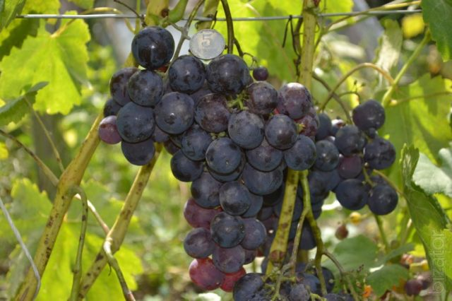 гроздь рошфорд