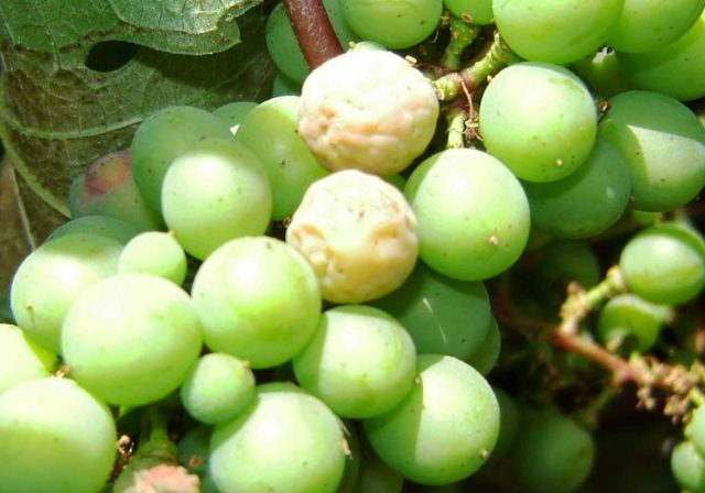 виноград болезнь