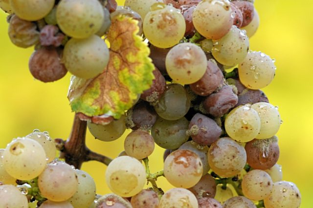 виноград грибок