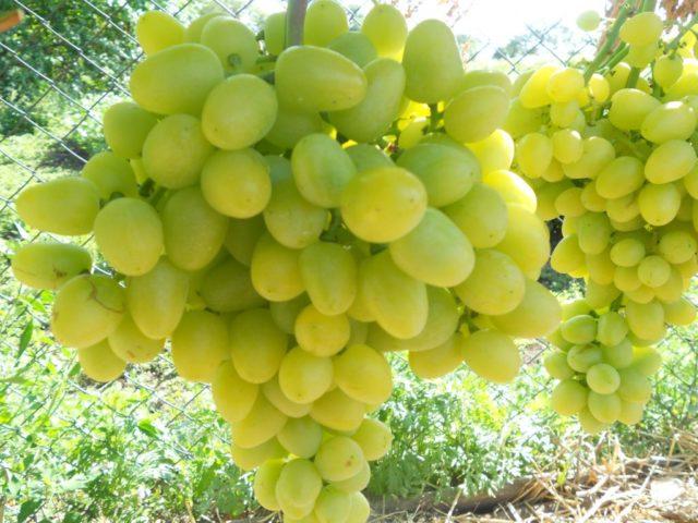 гроздь винограда Аркадия