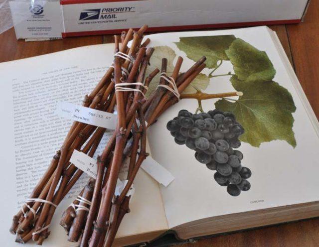 черенок виноград