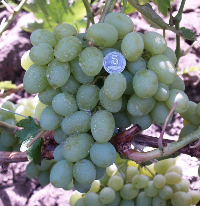 гроздь винограда монетка