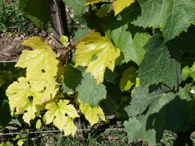 листы винограда