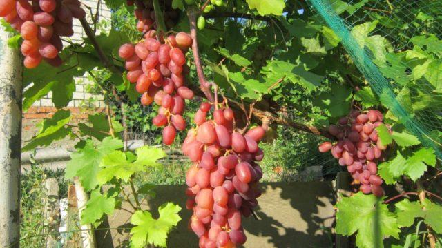 лоза розового винограда