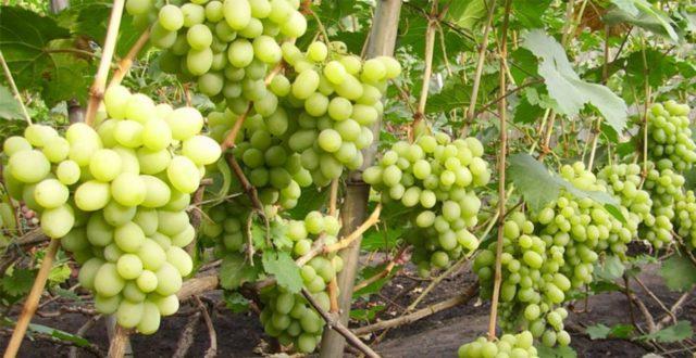 лоза винограда