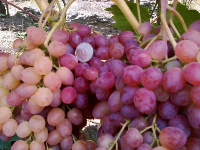 гроздь винограда велес