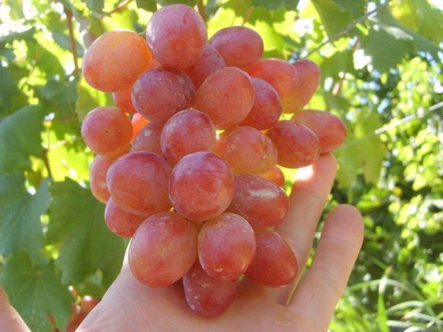 гроздь винограда на руке