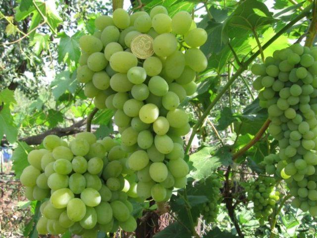 гроздь виногада