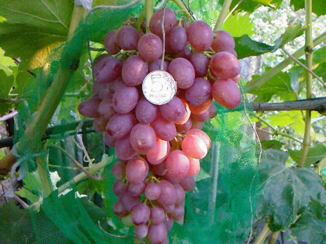 ягода винограда с монеткой