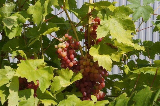 виноград на солнце