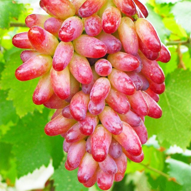гроздь винограда розового
