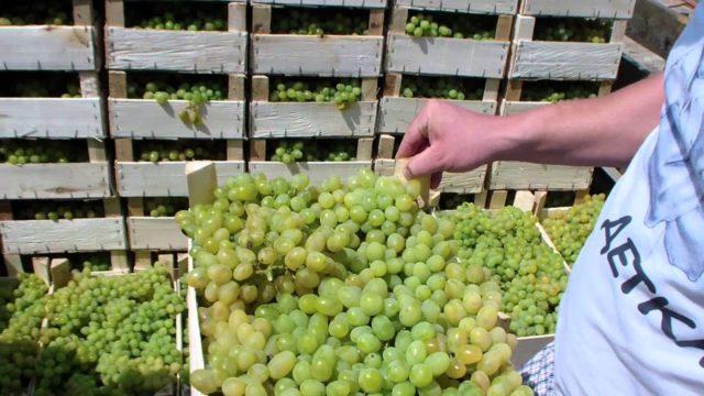 виноград в ящиках