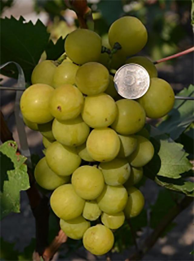 гроздь с монеткой