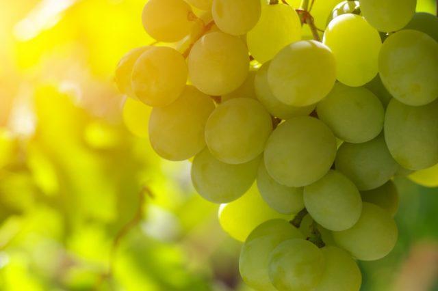 ягода винограда на солнце