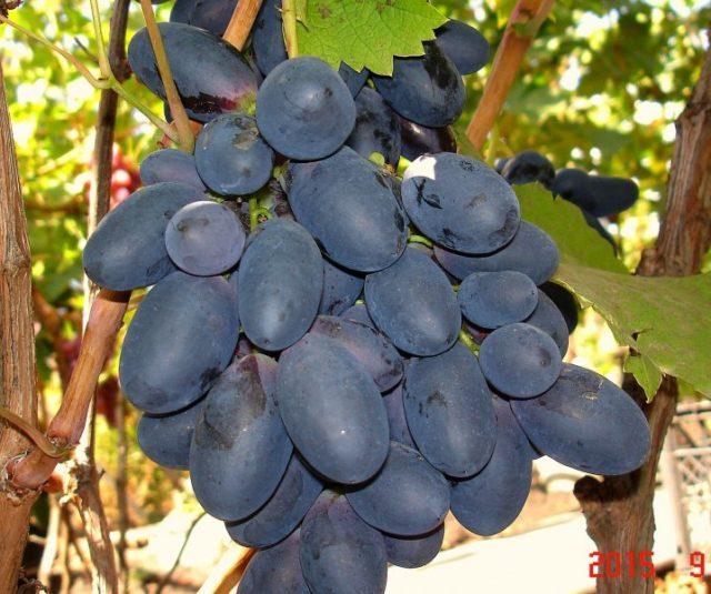 гроздь черного внограда