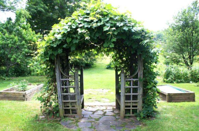 арка для винограда