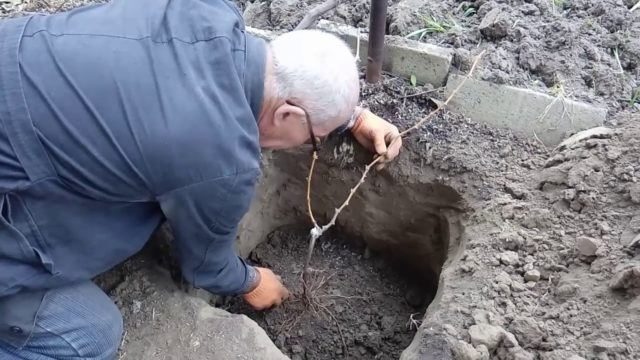 виноград в яме