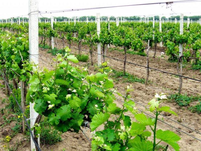 капельный полив на винограде