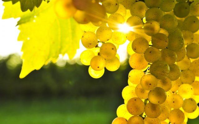 гроздь белого винограда солнце