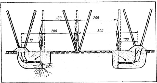 схема шпалеры наклонной