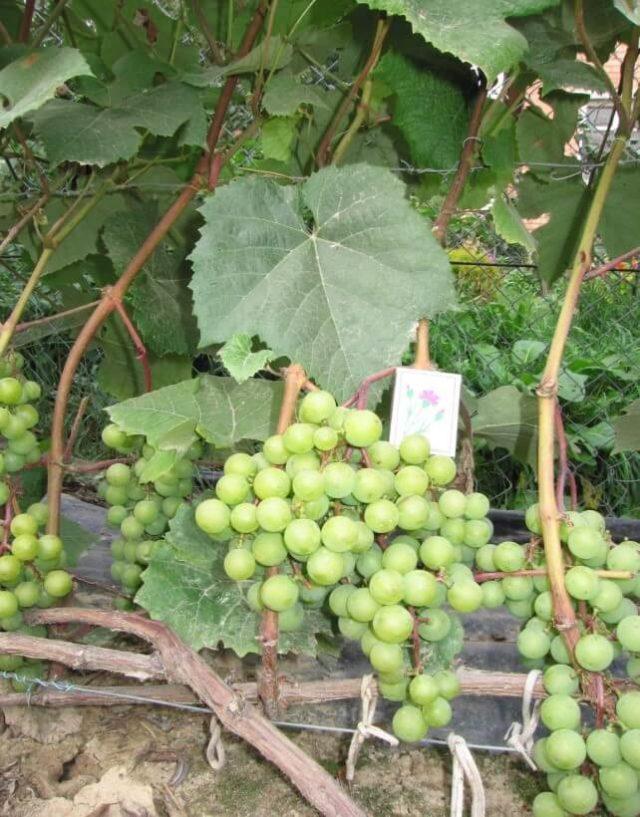 гроздь винограда со спичечным коробком