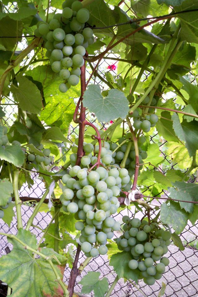 грозди внограда