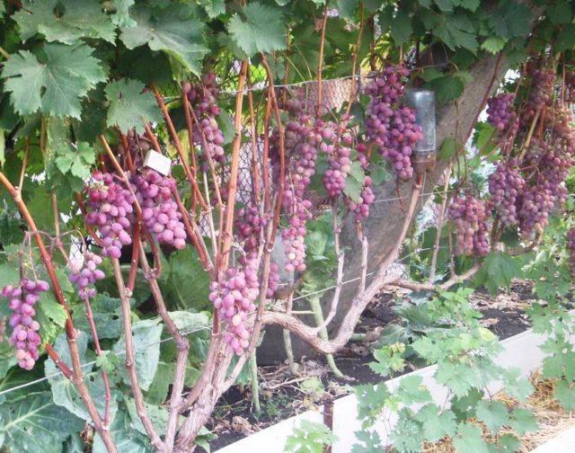 лоза винограда красного