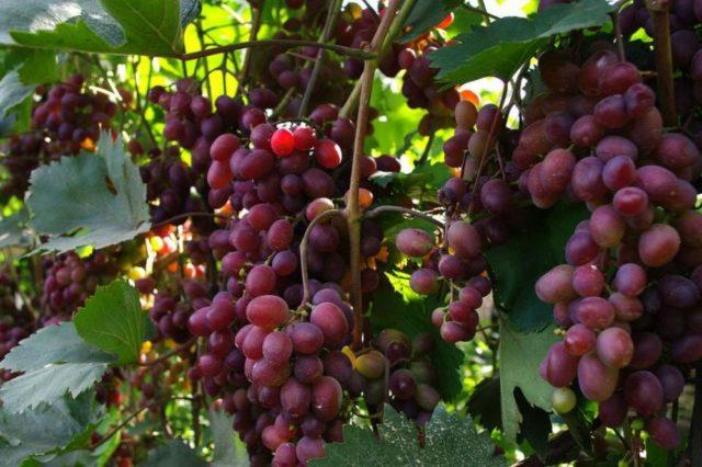 виноград красный