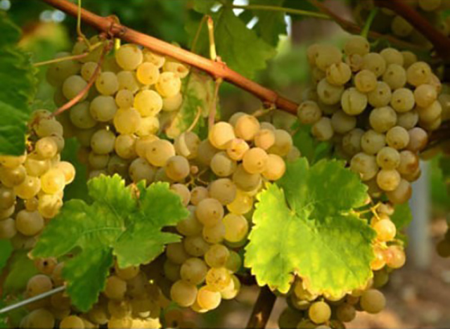 грозди винограда на лозе