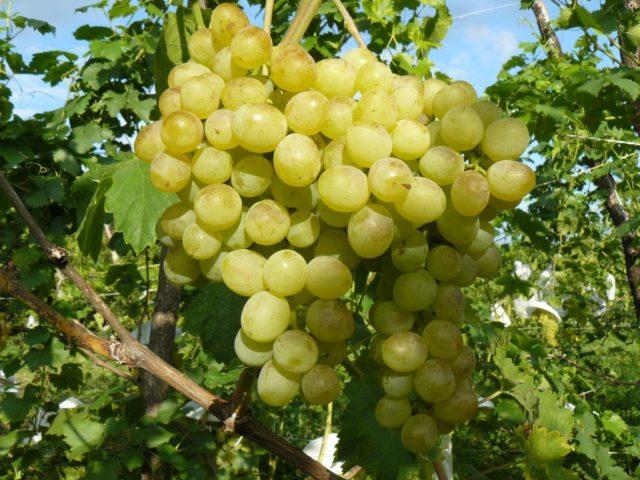 гроздь винограда на лозе
