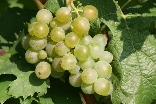 гроздь винограда на листе