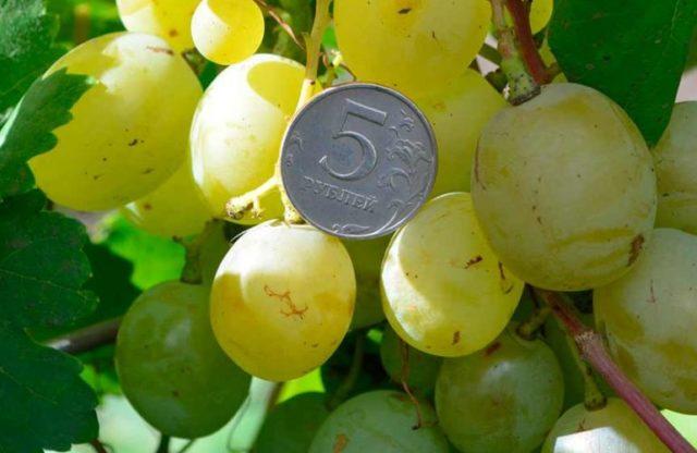 ягоды винограда с монетой