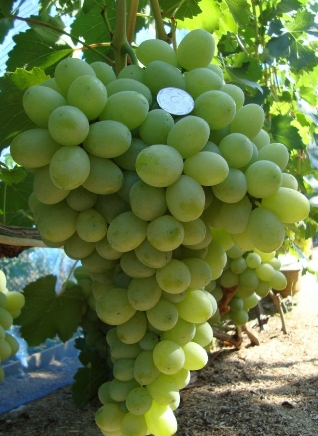 сорт винограда благовест фото связать