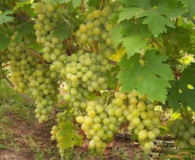 куст винограда