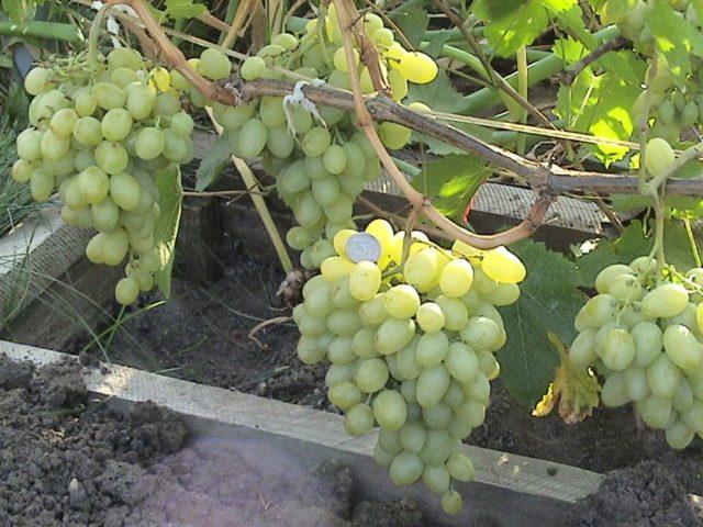 грозди винограда белого
