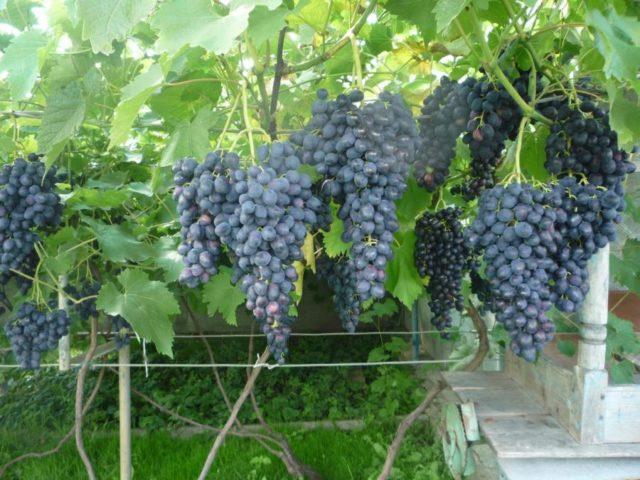 виноград на кусту