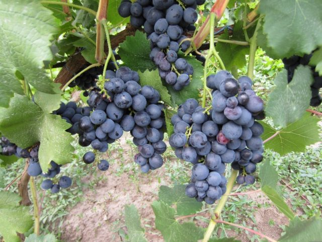 грозди на лозе